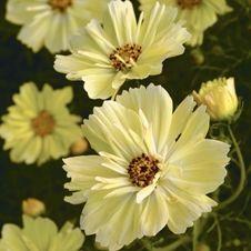 Cosmos bipinnatus 'Yellow Garden' | Organic seeds from @Seeds Of Change US