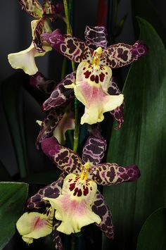 Beallara 'Clownish Cotton Candy' Orchid