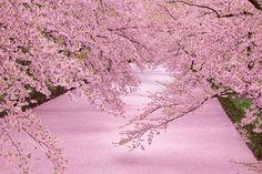 「日本さくらの会」が選定した全国100ヶ所の桜の名所の中から、各都道府県から1つずつ厳選しまとめてみました。どの都道府県にも違った美しさを誇る桜がたくさん!夜桜や桜祭りなど眺めるだけでなく楽しめる場所もあるので一気に春が待ち遠しくなること間違いなしです。
