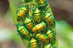 green metallic beetles