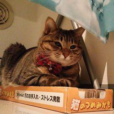 「今日はここで寝るみたいです。 Seems like she will sleep on this.  #ねこ #猫 #猫写真 #ネコ #しましま軍団 #キジネコ #キジトラ #きじとら #きじねこ #cat #catstagram #igclubcats #instacat #neko #tabby…」