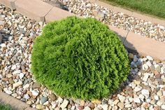 Thuja Occidentalis 'Hetz Midget' Globe Hetz Midget Arborvitae is a great dwarf evergreen shrub that is commonly used in landscapes in Iowa. This evergreen is slow growing and dense. Dwarf Evergreen Shrubs, Evergreen Bush, Dwarf Shrubs, Dwarf Plants, Dwarf Trees, Arborvitae Landscaping, Small Backyard Landscaping, Landscaping Ideas, Farmhouse Landscaping