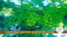 Uvas a mais, controle sua parreira ganhando mais uvas