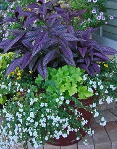 """Bacopa"" with white flowers, ""Key Lime Pie"" Huechera and Persian Shield. Purple & Green combo."