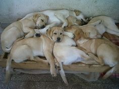A pile of beautiful sleeping yellow labradors