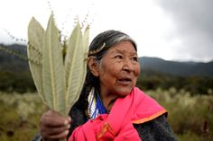 Mama Margarita, a Kamentsa medicine woman, holds the leaves of a frailejón plant that she uses to treat fever and migraines. Photo credit: Monika Wnuk