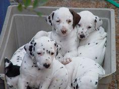 Lots of dots Dalmatian Puppies, Taylors, Golden Retrievers, Jack Russell Terrier, German Shepherds, Puppys, Online Art Gallery, Terriers, Cute Pictures