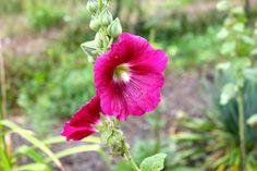 Malven Garden, Plants, Peach, Garten, Lawn And Garden, Flora, Gardening, Outdoor, Plant
