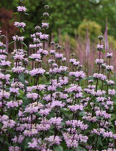 Buy Jerusalem sage Phlomis tuberosa & Delivery by Waitrose Gard. Cottage Garden Plants, Garden Shrubs, Pink Garden, Dream Garden, Garden Landscaping, Landscaping Ideas, Lilac Flowers, Beautiful Flowers, Dried Flowers