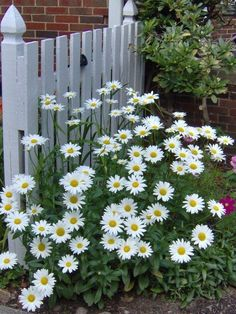 Shasta daisies bloom over a long period, from early summer until fall, forming tidy clumps from 2 to 3 feet tall and up to 2 feet across. The bright flowers contrast nicely with the glossy, dark green foliage, livening up any garden bed. The flowers are also suitable for cutting.
