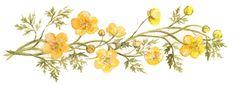 Smörblomma Buttercup. Illustration av AM Nilsson i boken Fråga farmor 1. Akvarell