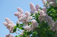 lilac, in Furano, Hokkaido Furano, Lonely Planet, Outdoor Activities, Lilac, Favorite Things, Japan, Island, Random, Flowers