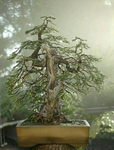 Bonsai Tree Ideas A Guide To Bonsai Trees For Beginners Bonsai Tree Ideas. The art form of bonsai can be a wonderful and unique hobby. Viewing and taking good care of a bonsai collection can be a r… Ikebana, Bonsai Plants, Bonsai Garden, Succulents Garden, Air Plants, Cactus Plants, Bonsai Tree Care, Bonsai Trees, Dwarf Trees