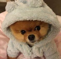 Jiff the Pomeranian Dog Tiny Puppies, Cute Little Puppies, Teacup Puppies, Cute Dogs And Puppies, Cute Funny Animals, Funny Animal Pictures, Cute Baby Animals, Animals And Pets, Pomeranian Puppy
