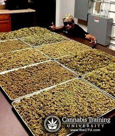 Marijuana bud processing in a industry | theCTU.com