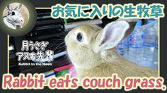 お気に入りの生牧草【ウサギのだいだい 】 Rabbit eats couch grass. 2016年4月12日