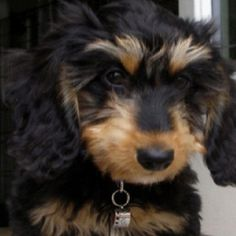 Our Tucker at 10 wks old. He's a mini long hair dachshund. His fur is the softest ever!