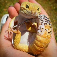 Gecko Schöne niedlicher Panther Gecko Tangerine leopard gecko for sale Leopard Gecko Cute, Cute Gecko, Cute Lizard, Cute Snake, Cute Baby Animals, Animals And Pets, Funny Animals, Wild Animals, Cute Reptiles