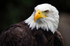 The Bald eagle (Haliaeetus leucocephalus, from Greek hali sea , aietos eagle , leuco white , cephalos head ) is a predator found in The united state and canada. A sea eagle, it has 2 well-known sub-species and also forms a types coupled with the white-tailed eagle (Haliaeetus albicilla). Its range consists of the majority of Canada as well as Alaska, [ ]