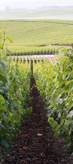 Vignes de Vert-Toulon par la route touristique du Champagne en venant de Toulon La Montagne