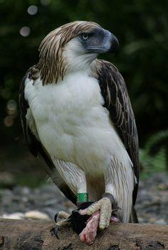 Philippine monkey eating Eagle