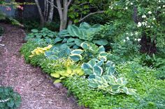 Another pathway and more hostas... the sweet woodruff (Gallium odoratum) would love to overwhelm the hostas, but it is easy to control so once or twice a season we pull the plants that are infringing on the hostas... (I love its snowy effect when blooming in spring)