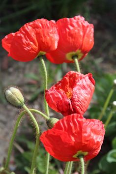 I have not found any pics of poppies growing with blue iris; one of our neighbors had that combo along the side of their house. Beautiful Nature Pictures, Beautiful Flowers, Red Perennials, Bloom Where You Are Planted, Beginner Painting, Flowers Nature, Red Poppies, Pretty Good, Animals And Pets