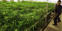 NM medical marijuana enrollment sees record 77 percent increase - Las Cruces Sun-News