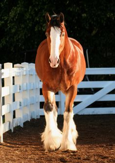 One of the Budweiser Clydesdales ♥ ♥
