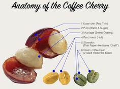 Chemistry of Coffee: Science Behind the Black Nectar Coffee Bean Tree, Coffee Plant, Coffee Cafe, Coffee Drinks, Coffee Shop, Honey Coffee, Mocha Coffee, Starbucks Coffee, Tostadas