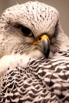 Gyrfalcon: Dispersed throughout much of the Northern Hemisphere, with populations in Northern America, Greenland, and Northern Europe. It is the largest of the falcon species.