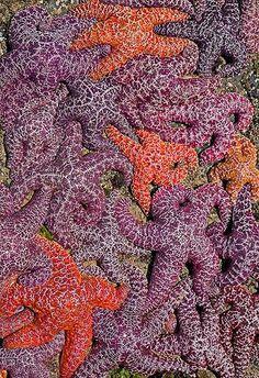 Orange and purple starfish off of Cascade Point, Oregon
