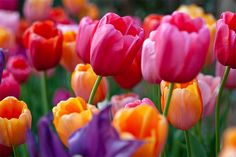 Tulips in Texas :: French Blend Rose from Colorblends and Lovers Blend from Van Bourgondien