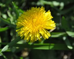 Dandelion - photo by Elena Hasnas, for more visit website www.elenahasnas.weebly.com