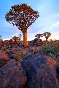 Quiver tree forest at sunset, near Keetmanshoop, Namibia https://www.greatrail.com/tours/namibia-pride-of-africa-tour/