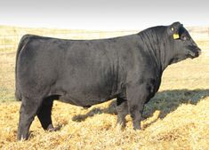 S A V Angus Beef 3231 - Son of Angus Valley