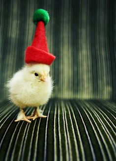 What is more cute than a little baby chick in a santa hat... one that is pissed off.