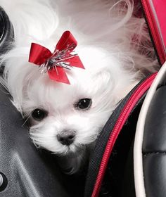 Sweet little Maltese! She looks so precious! Cute Dogs And Puppies, I Love Dogs, Tiny Puppies, Doggies, Cute Baby Animals, Animals And Pets, Sweet Dogs, Yorkshire Terrier Puppies, Teacup Puppies