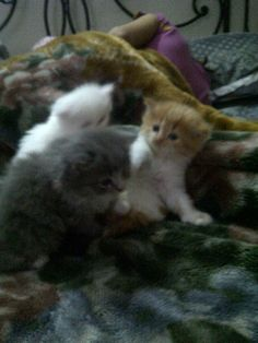 Persian doll face cats for sale in lahore