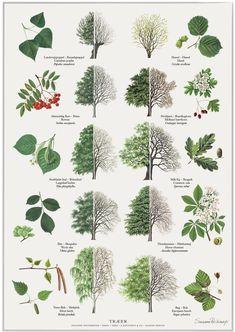 Trees poster - Trees posters posters with trees. Illustrated by Susanne Weitemeyer. Size: 42 x cm - Botanical Art, Botanical Illustration, Arte Naturalista, Leaf Identification, Poster Shop, Poster Poster, Tree Plan, Tree Leaves, Arte Floral