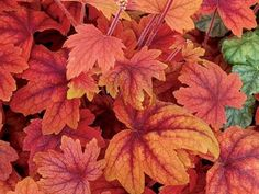 Heuchera Sweet Tea.  Sunrise is selling this new, vibrant variety of coral bells for $7.99 in a 2.5 quart pot.