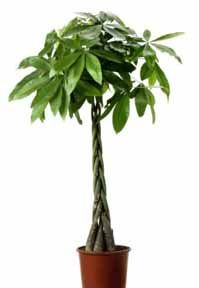 Guiana chestnut = Pachira Aquatic = Money Tree. Virtually kill-proof. Tidy. Grows as large (or small) as you want them. Immune to over watering. Loves soil that is moist at all times. Thrives in indirect light.