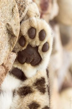 snow leopard paw by Cloudtail Beautiful Cats, Animals Beautiful, Cute Animals, Crazy Cat Lady, Crazy Cats, Cat Paws, Dog Cat, I Love Cats, Cute Cats