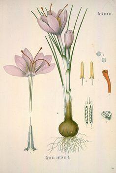 crocus Plante Crocus est un genre botanique de la famille des Iridaceae, qui comprend 90 espèces, dont un tiers fleurit en automne. Wikipédia