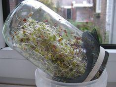 Kiemen kweken Sprouts Vegetable, Growing Sprouts, High Tea, Superfood, Cabbage, Good Food, Vegetables, Healthy, Recipes