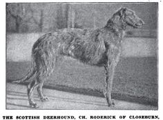 Scottish Deerhound, 1917.