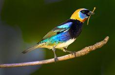 The Golden-hooded tanager (Tangara larvata) is a medium-sized passerine bird. - Pesquisa Google.