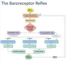 baroreceptor reflex - Google Search