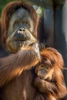 """Orangutan mom Indah and her little girl Aisha enjoy the morning sun. Orangutans, whose name means """"people of the forest,"""" live in tropical and swamp forests on the Southeast Asian islands of Borneo and Sumatra. These shaggy red apes are the largest arboreal mammal and the only great ape found in Asia. The other great apes—gorillas, chimpanzees, and bonobos—are all native to Africa."""