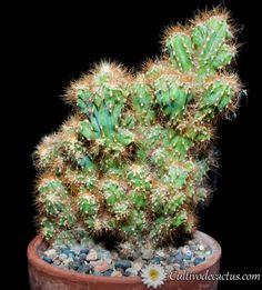 Cereus sp. cristata
